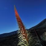 II Concurso fotográfico sobre los Tajinastes en Canarias 3
